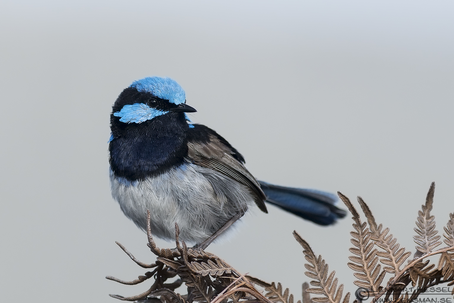 Superb Fairywren Bruny Island