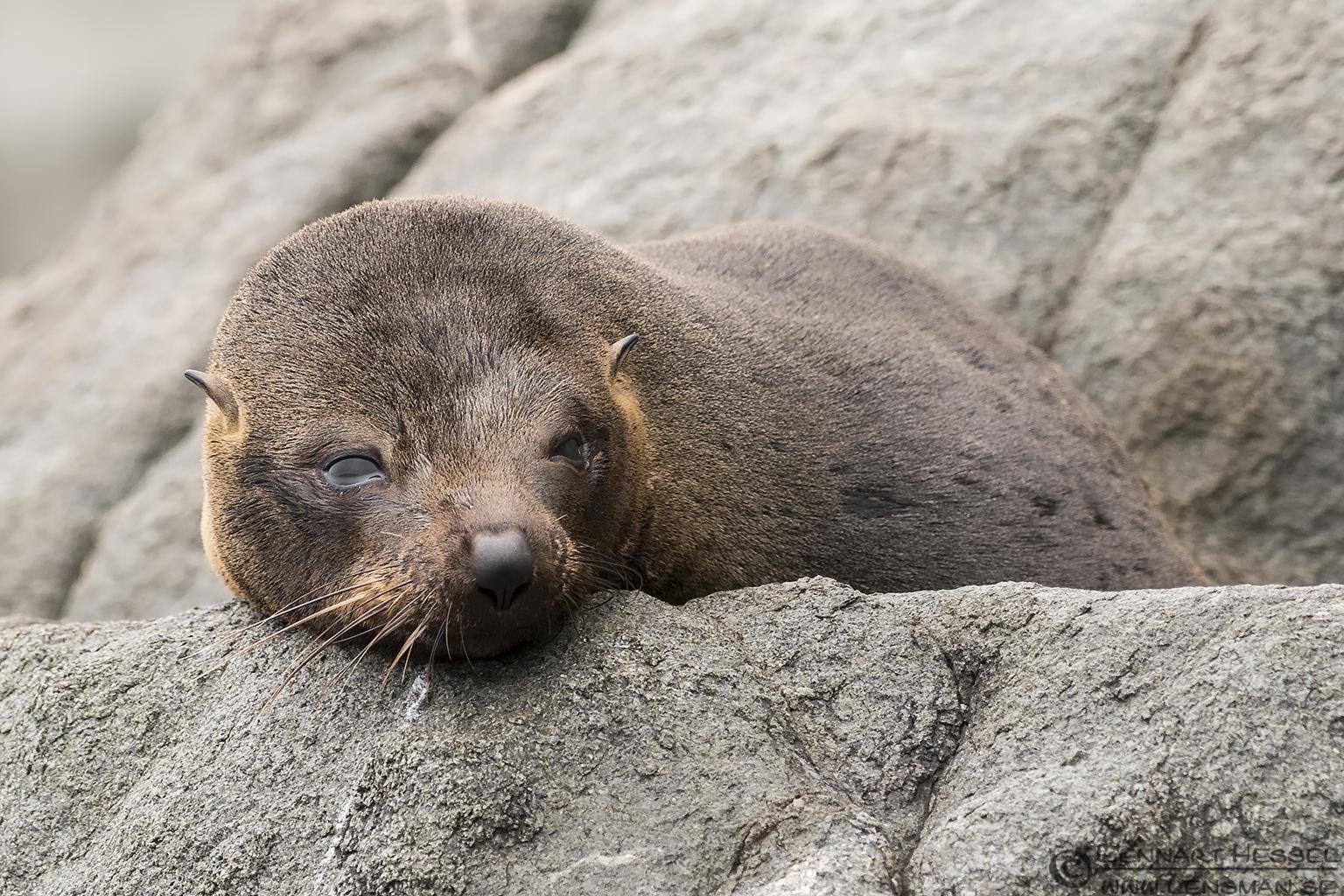 Sleepy Australian Fur Seal Tasman Peninsula