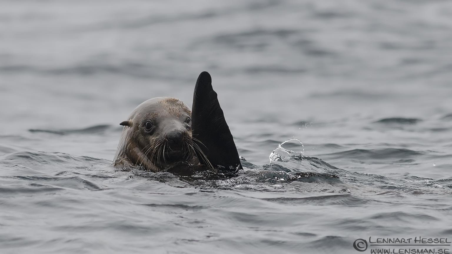 Waving Australian Fur Seal Tasman Peninsula