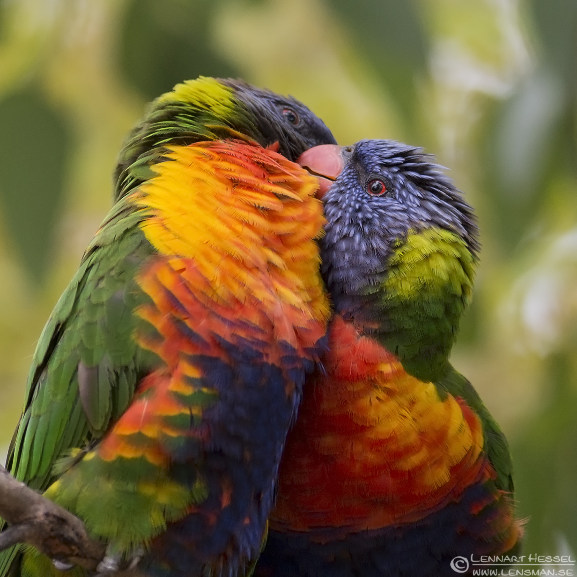 Rainboww lorikeet wild bird