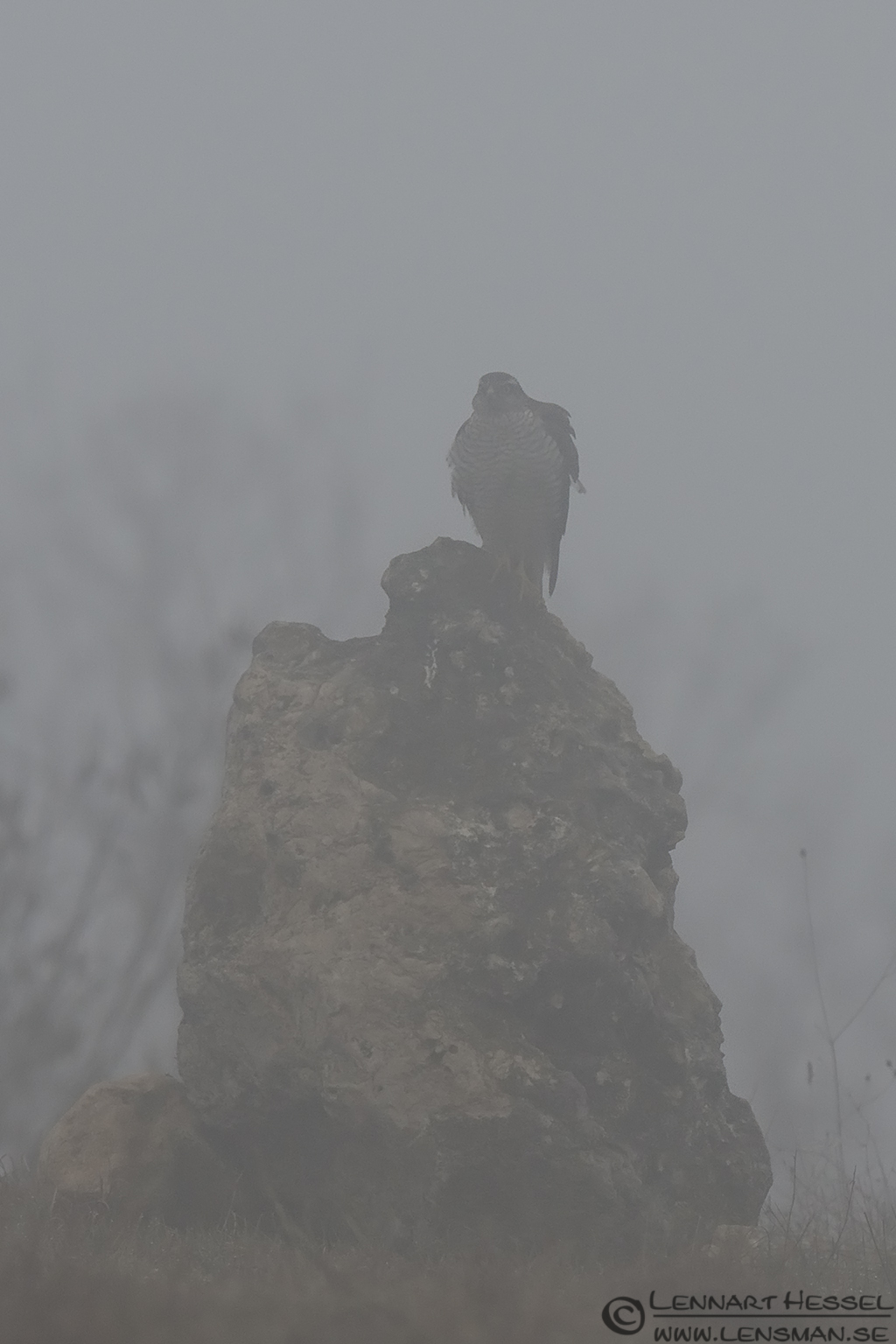 Northern Goshawk in the mist Bulgaria