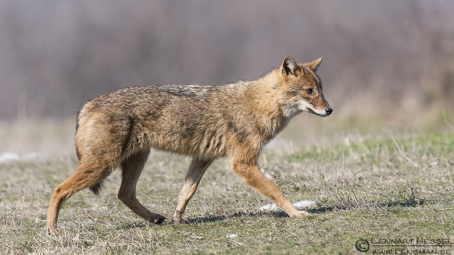 Golden Jackal trotting 140217