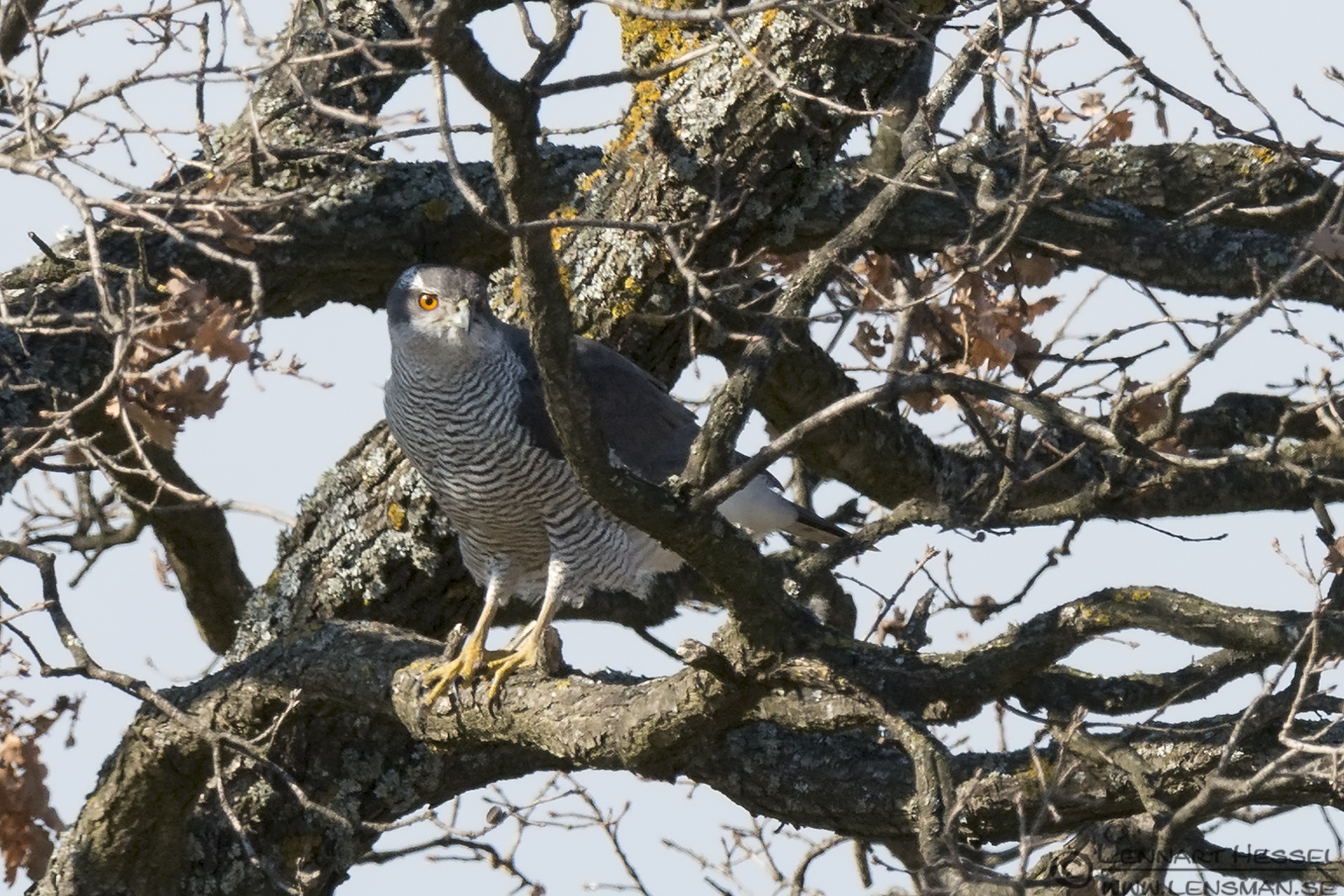 Northern Goshawk Bulgaria
