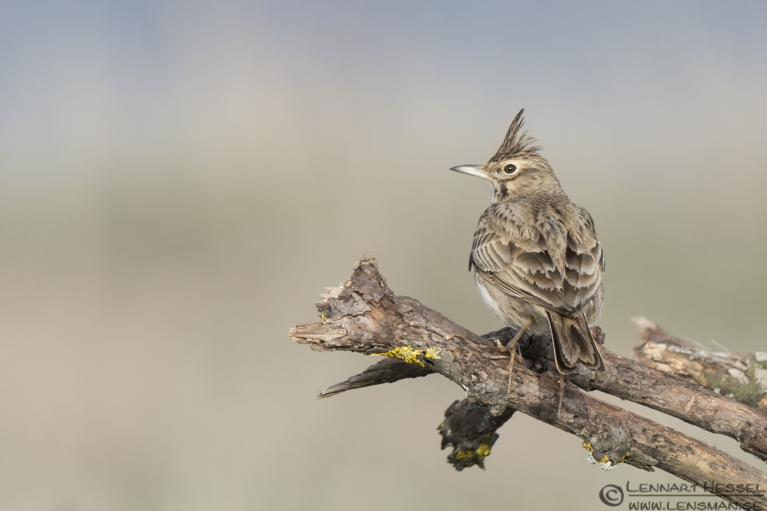 Crested Lark Bulgaria