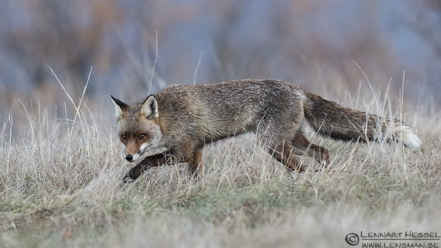 Red Fox skulking 140218