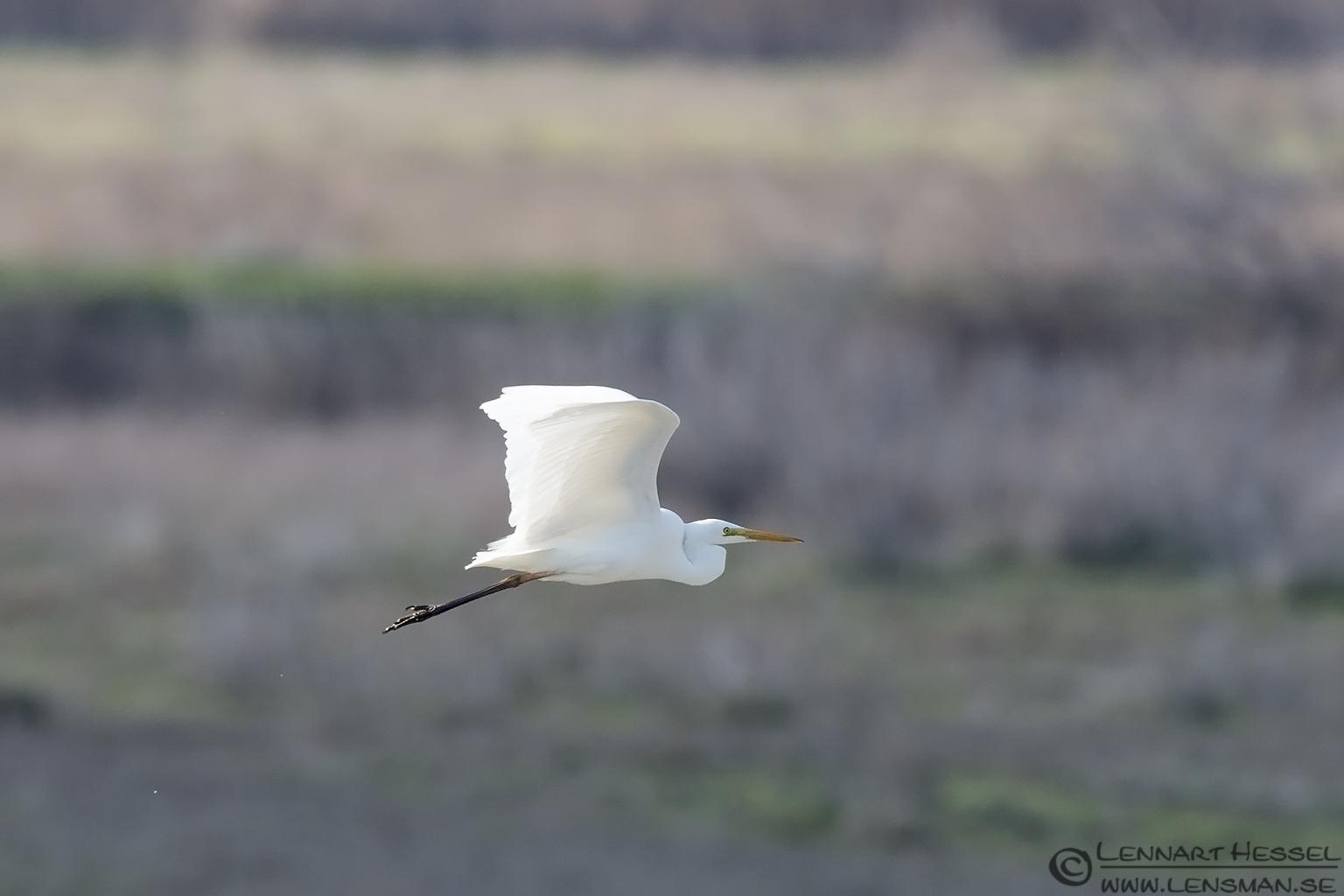 Great White Egret Evros Delta