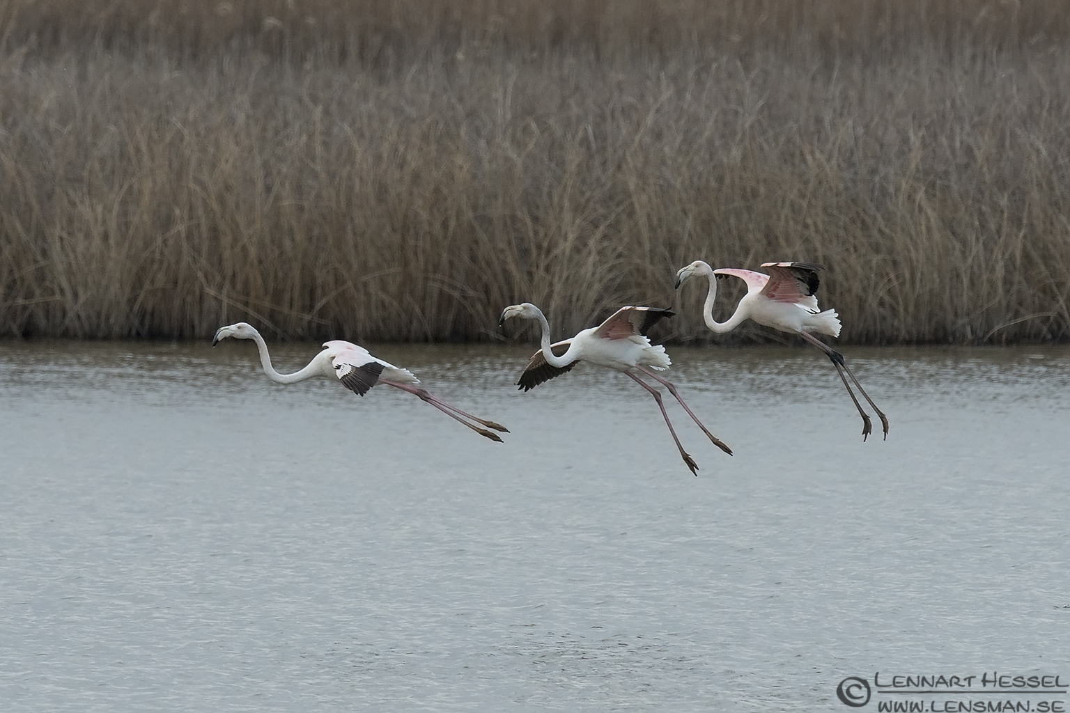 Greater Flamingo Evros Delta