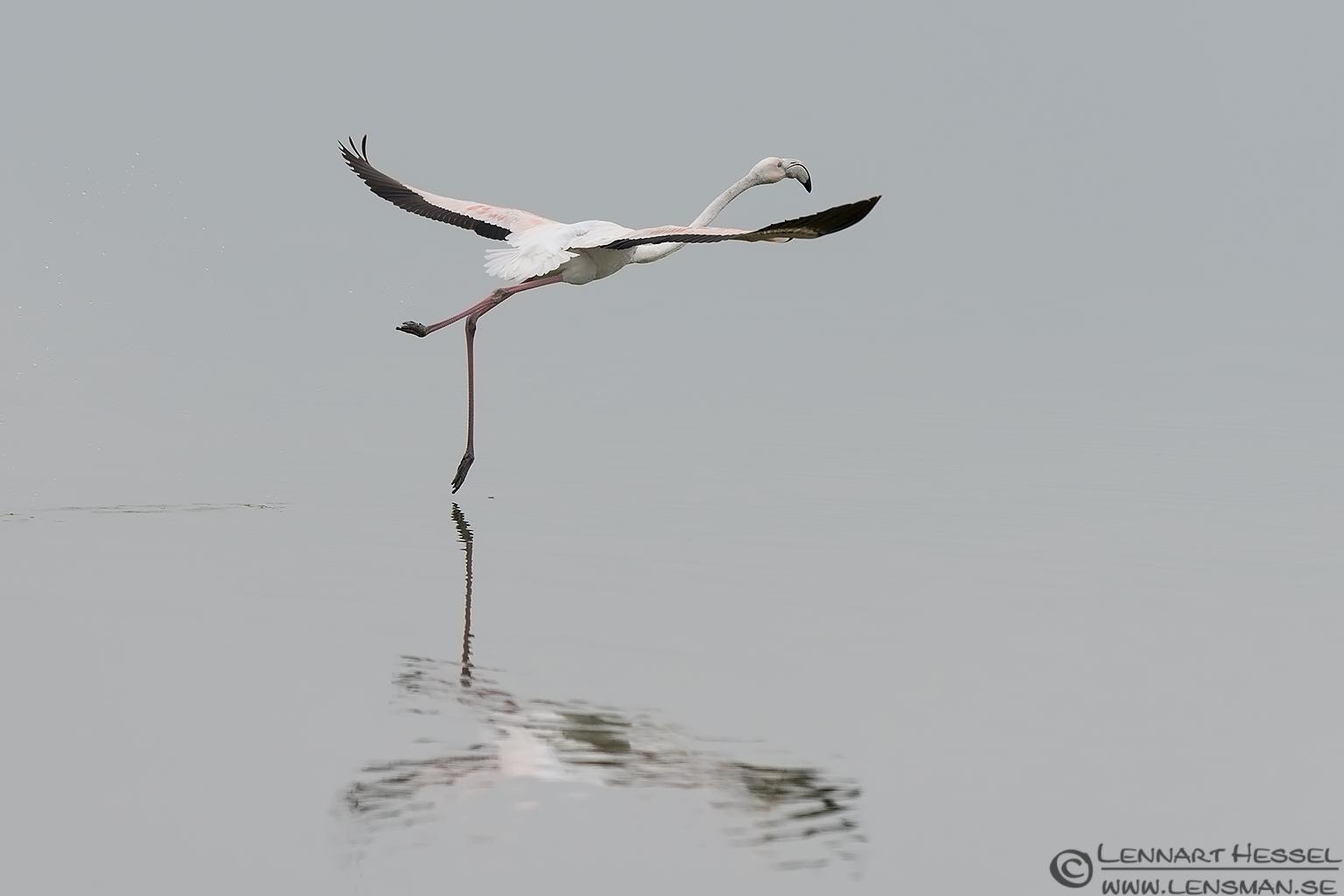 Greater Flamingo ballet Porto Lagos