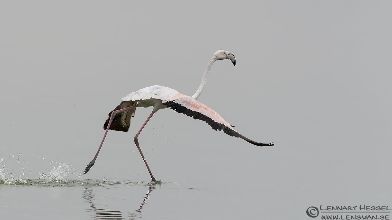 Greater Flamingo Porto Lagos