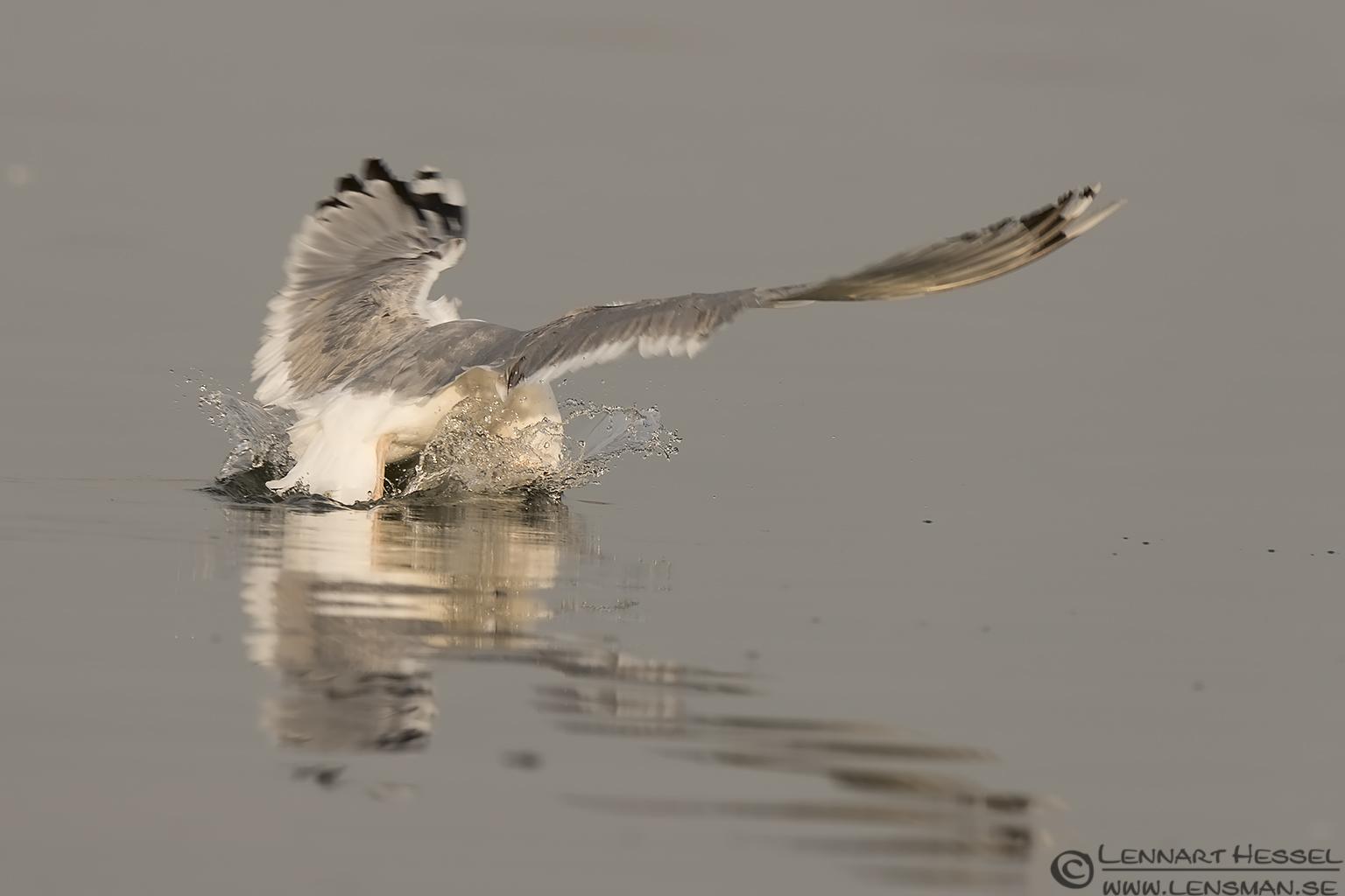 Yellow-legged Gull Lake Kerkini