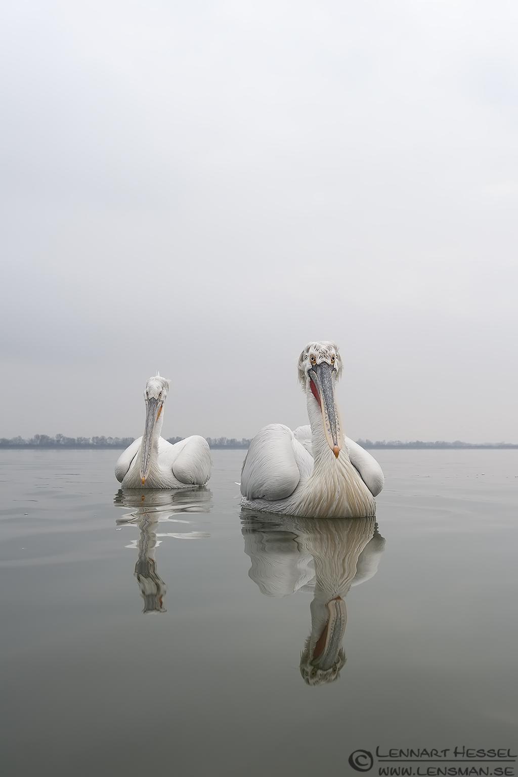 Dalmatian Pelican Lake Kerkini National Geographic