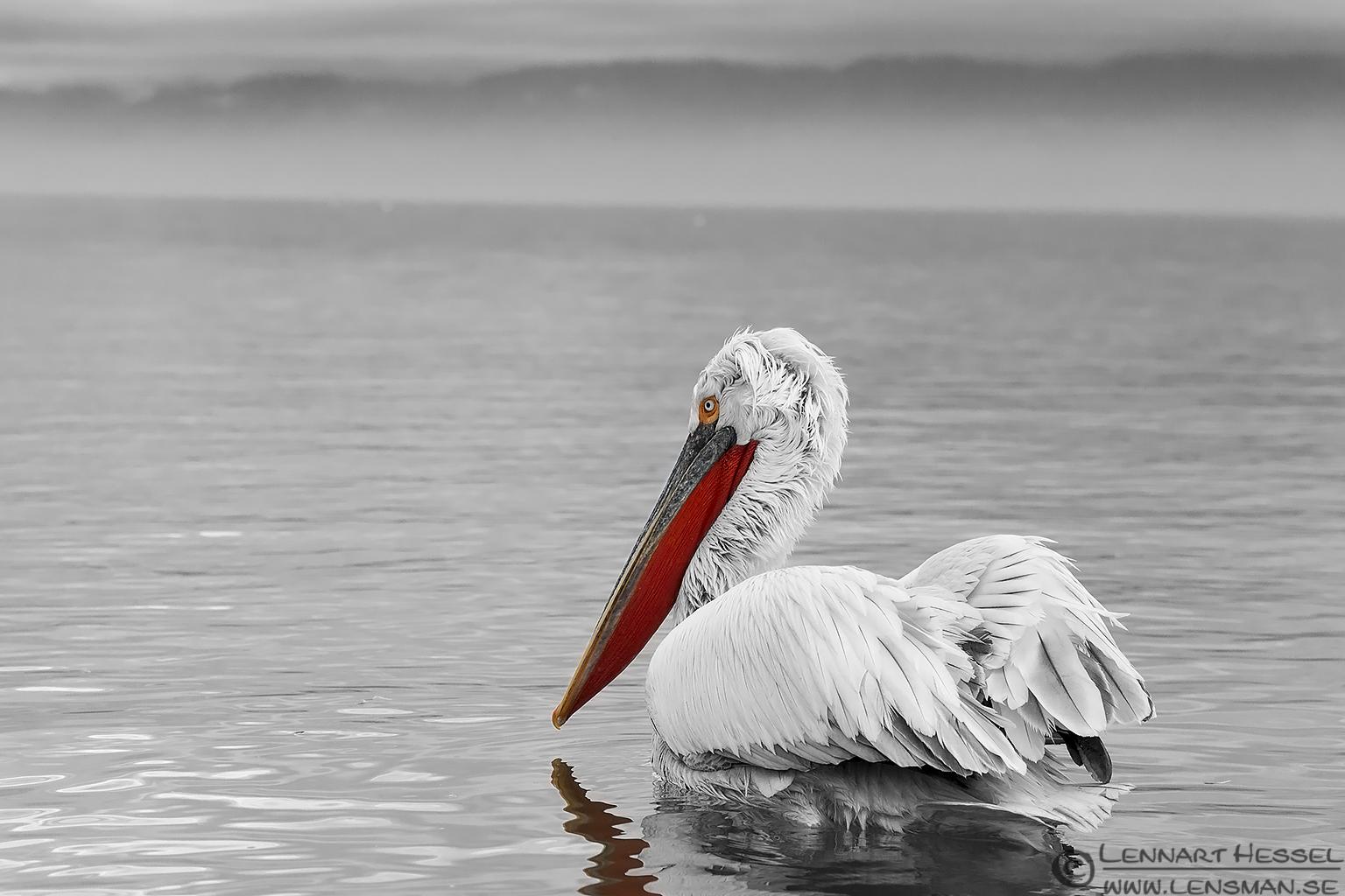 Dalmatian Pelican Lake Kerkini