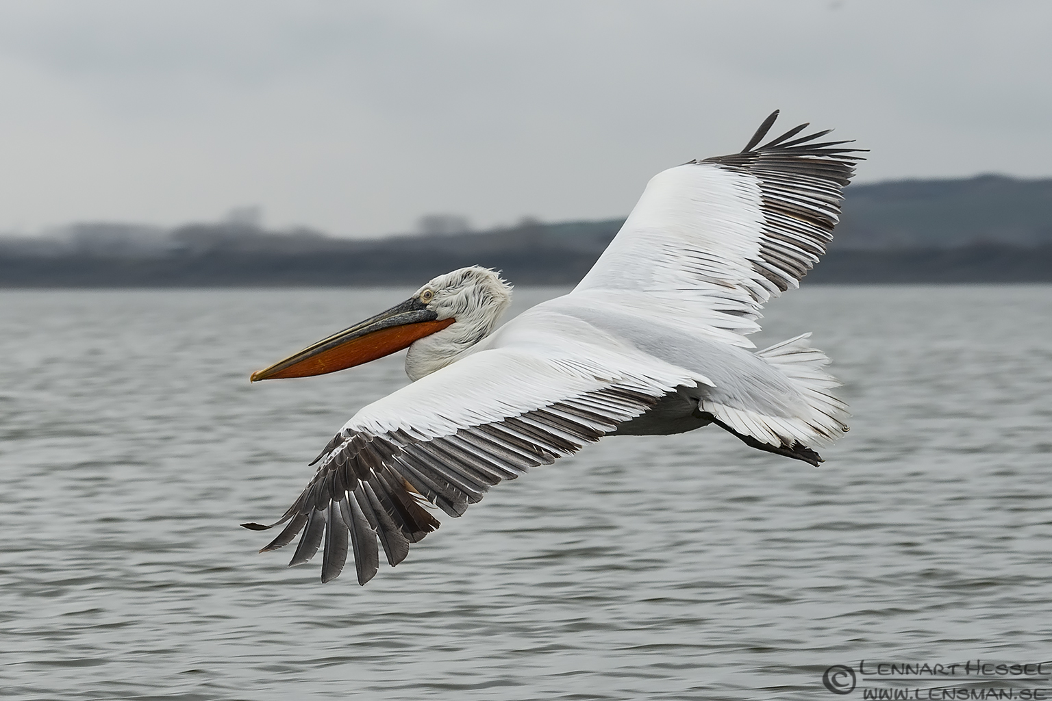 Dalmatian Pelican at Lake Kerkini