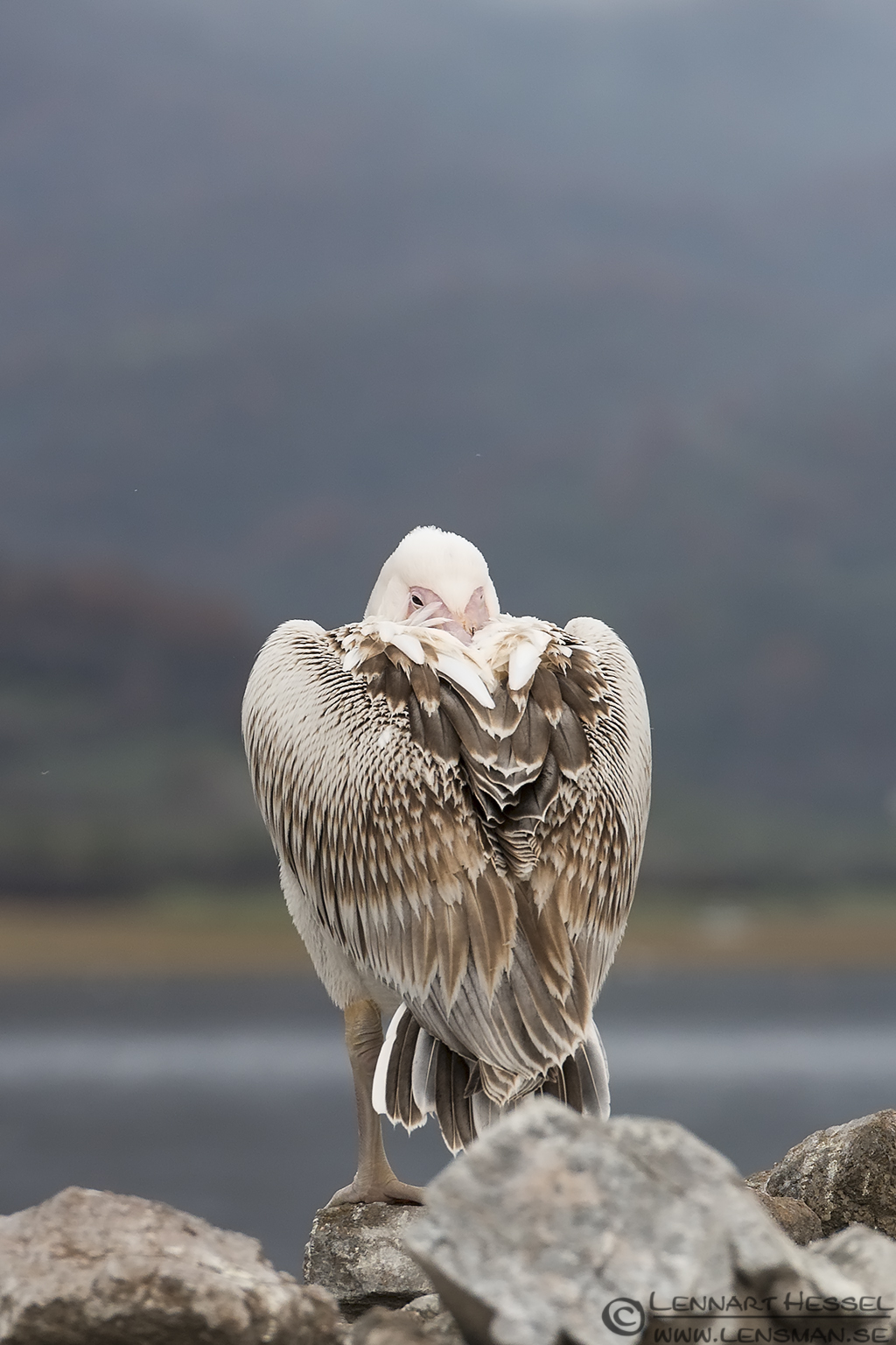 Great White Pelican Lake Kerkini