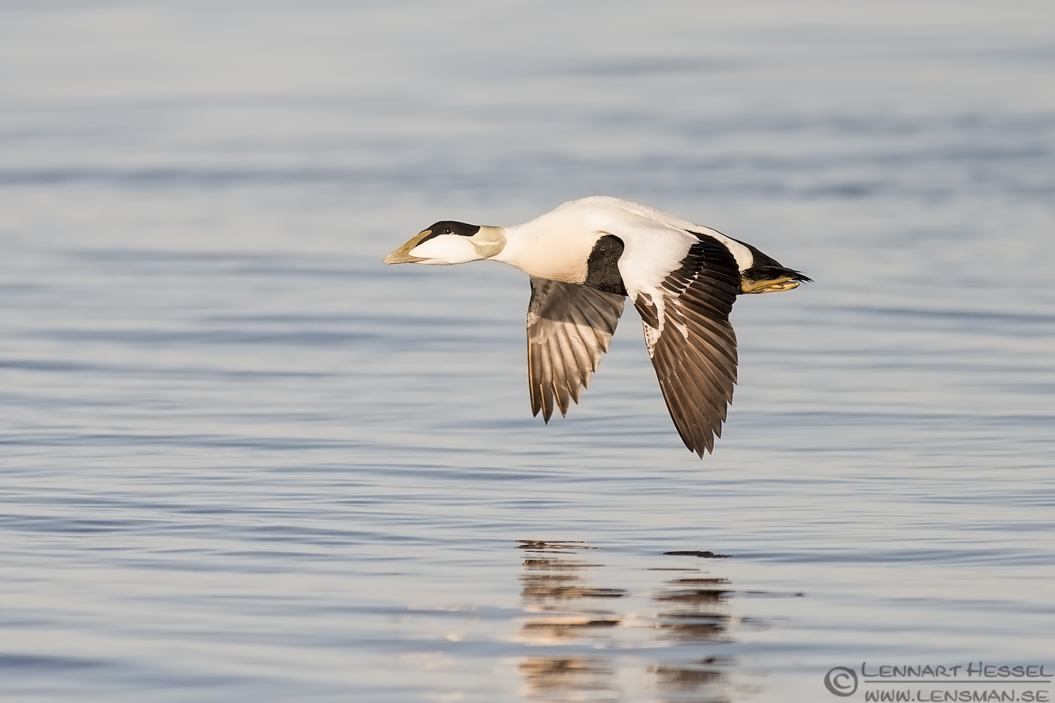Fluing Common Eider at Glommen