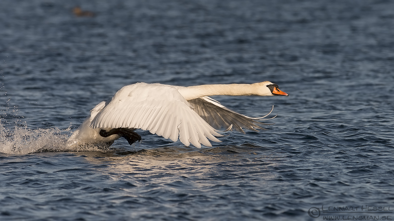 Mute Swan at Glommen