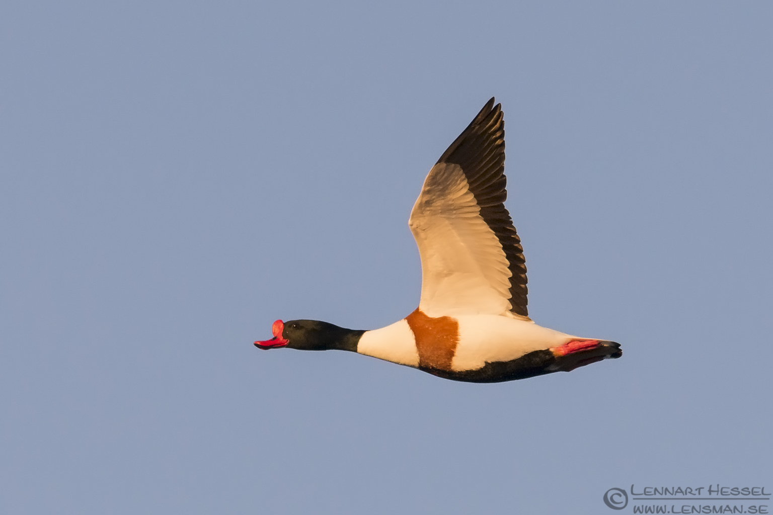 Common Shelduck at Glommen