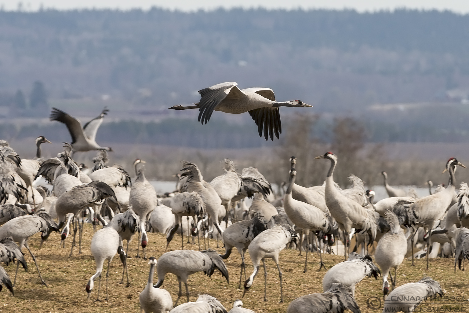 Common Cranes lekking