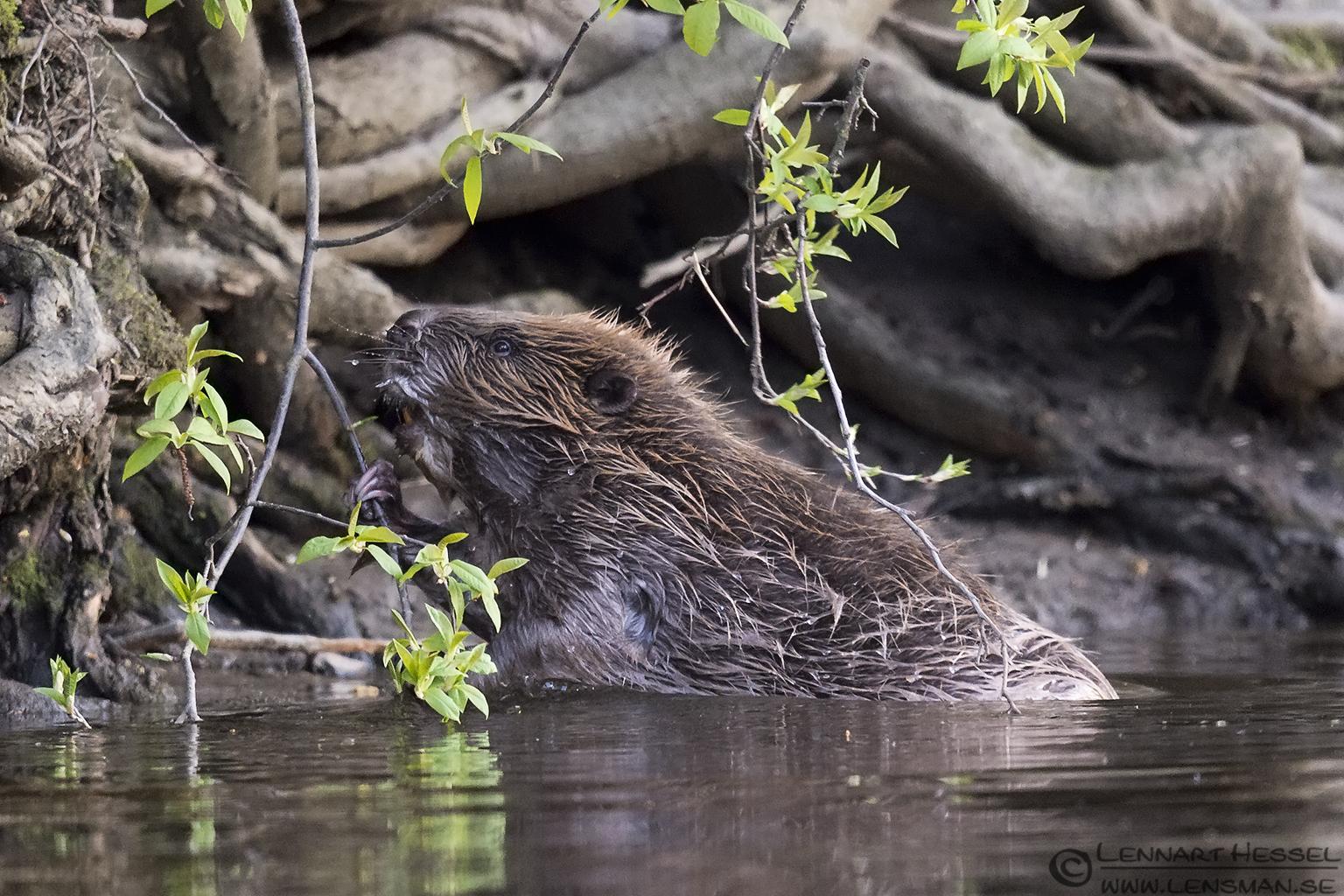 Eurasian Beaver Easter day