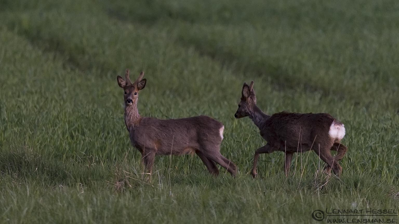 Roe deer elk