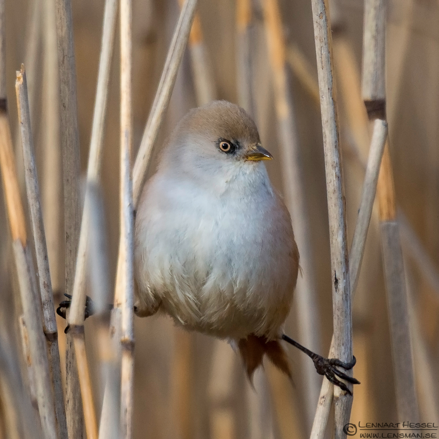 Bearded Reedling female