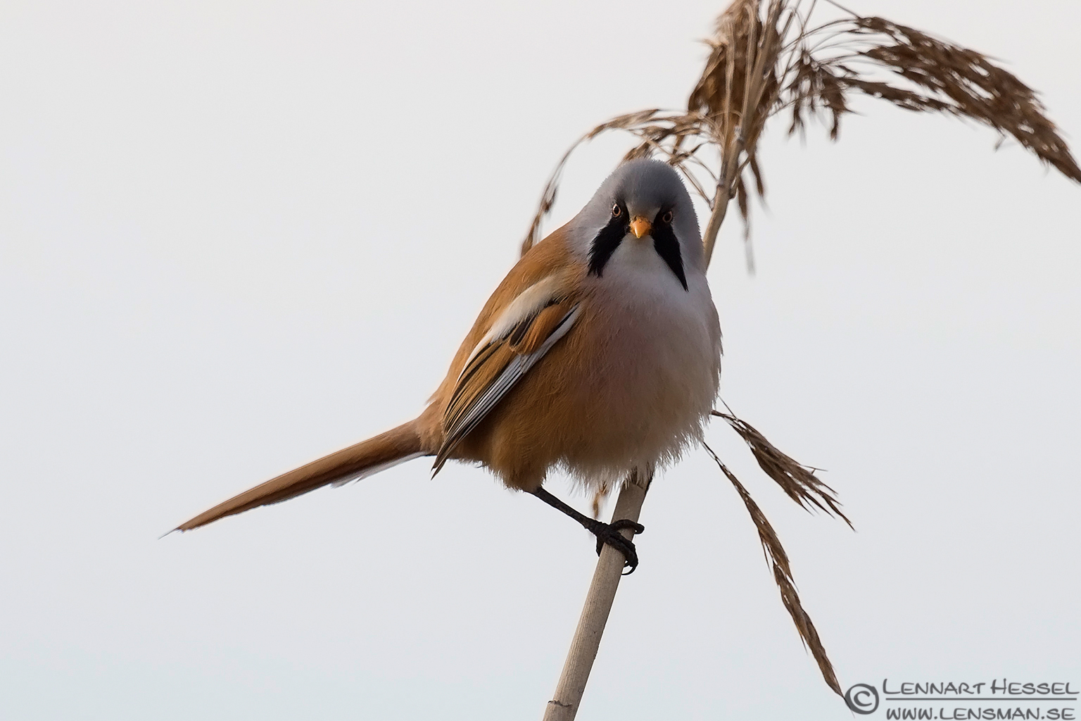 Male Bearded Reedling
