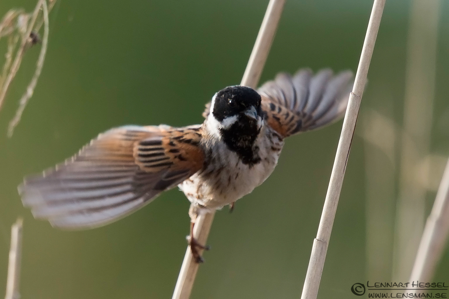 Common Reed Bunting Bearded Reedling