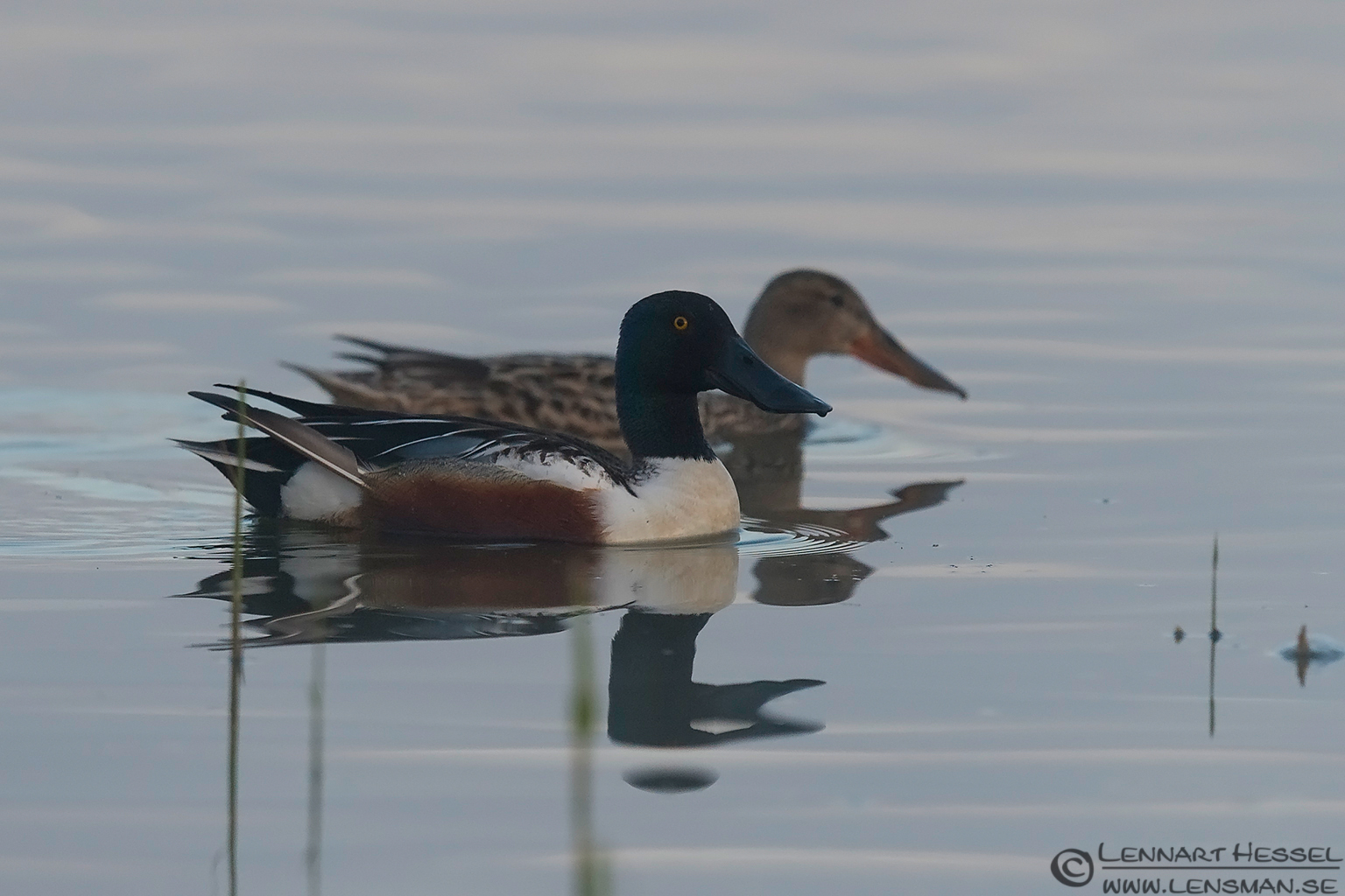 Northern Shoveler Bearded Reedling