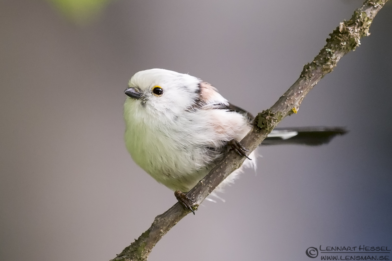 Long-tailed Tit looking