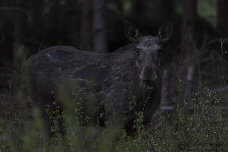 Elk looking