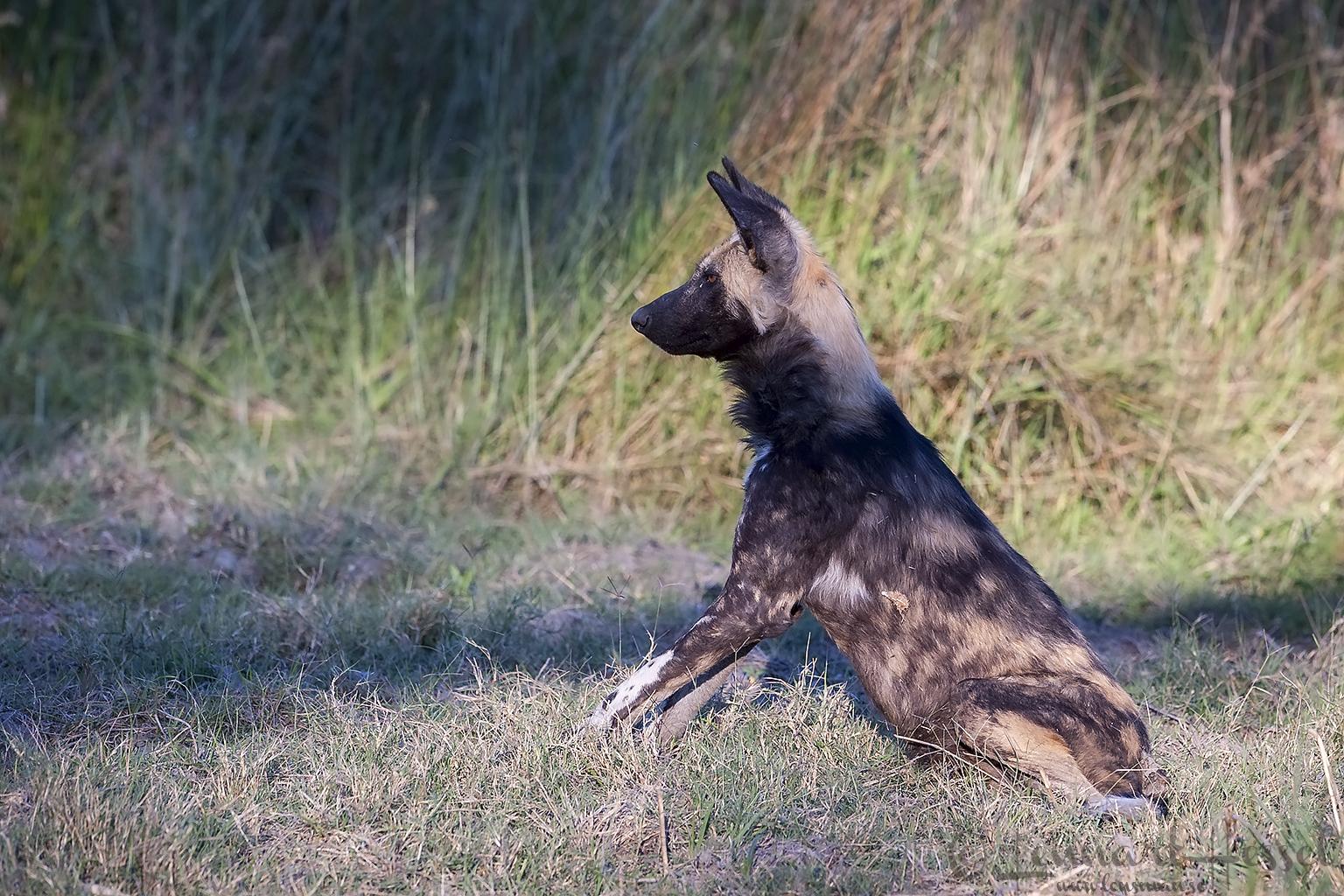 African Wild Dog Botswana Moremi Game Reserve