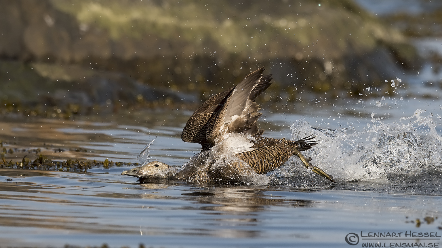Common Eider Sandwich Tern