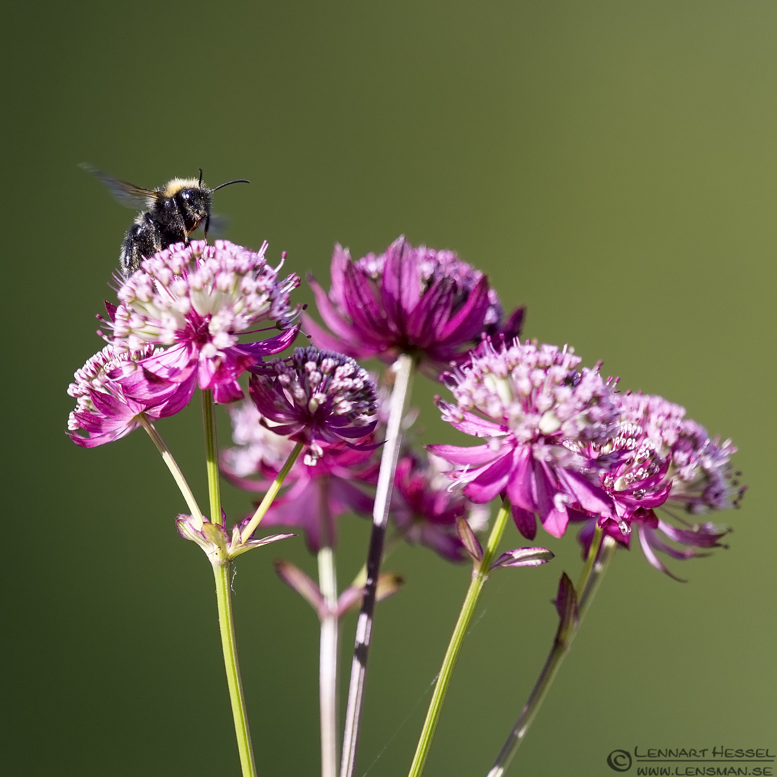 Bumblebee grebe