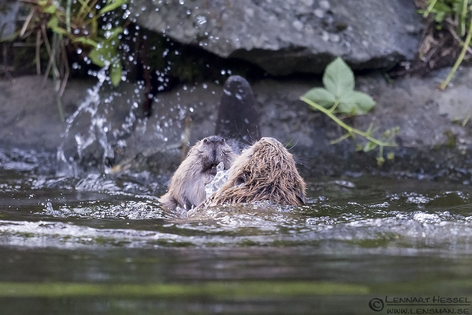 Eurasian Beaver creek