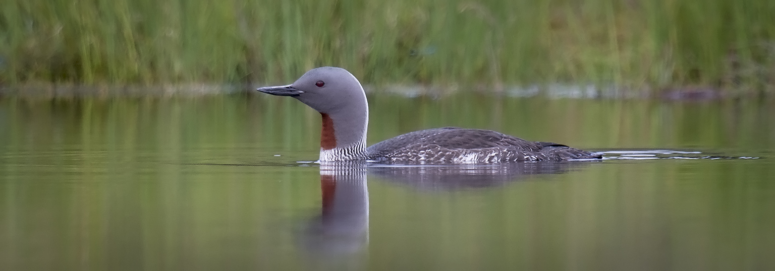 Background Red-throated Diver