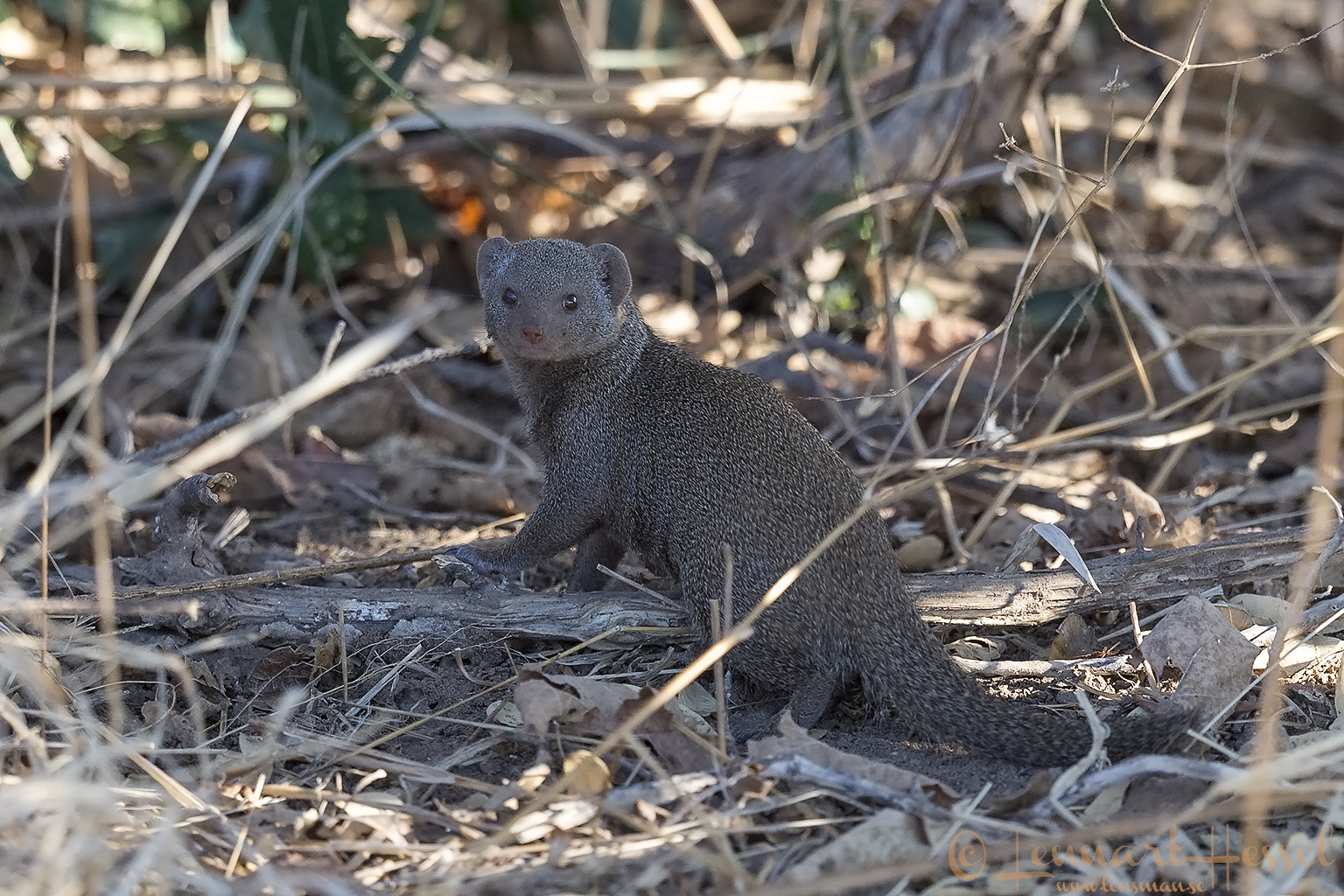 Dwarf Mongoose Mana Pools National Park, Zimbabwe