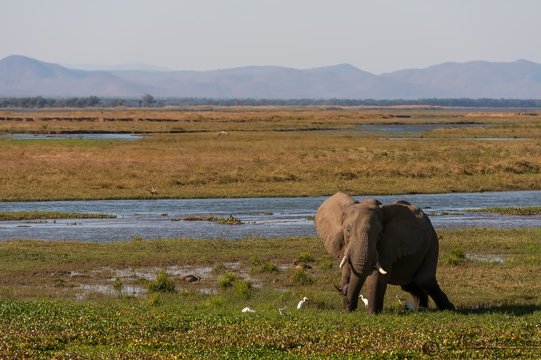 Elephant in habitat Mana Pools National Park