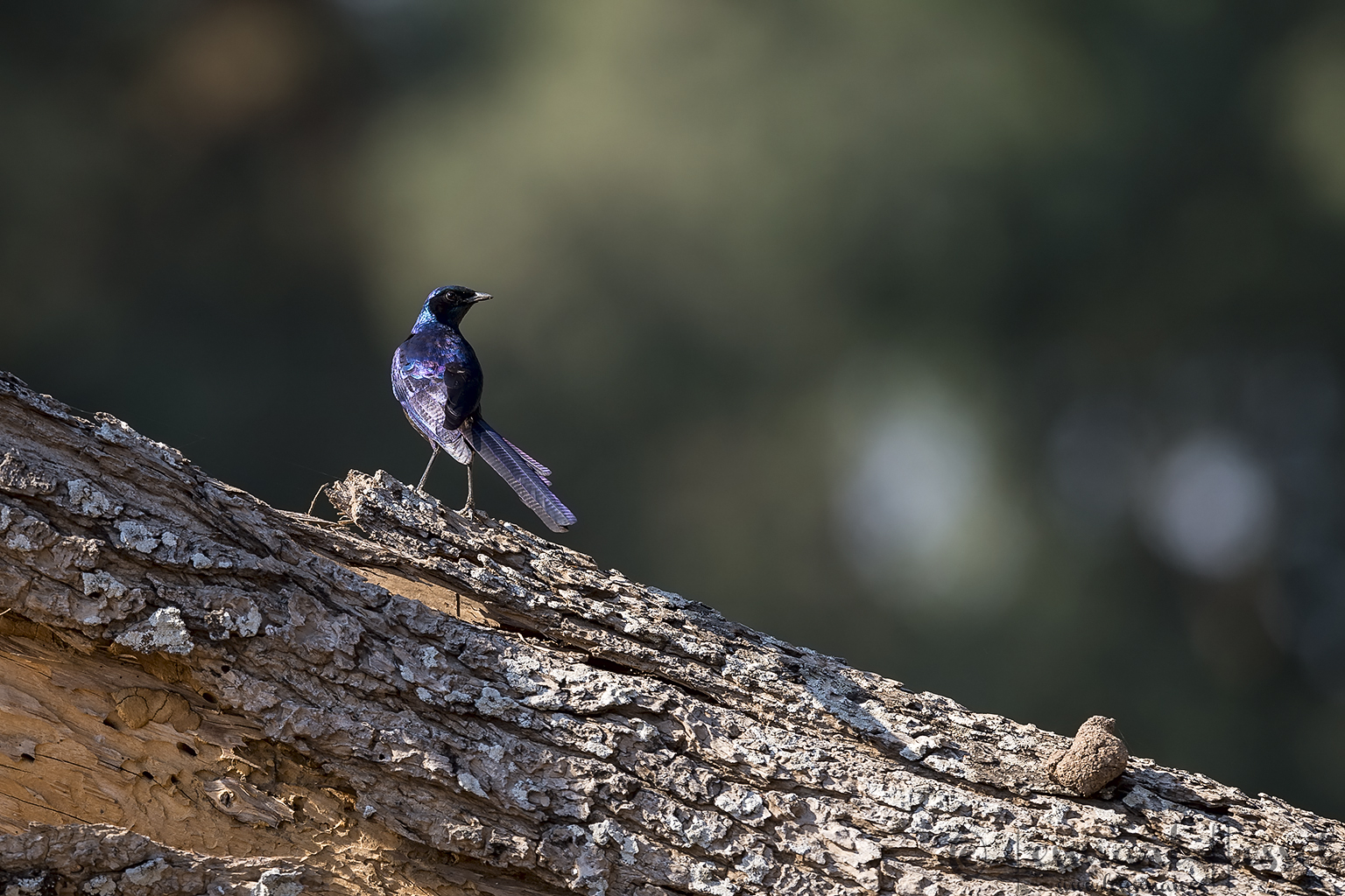 Burchell's Starling giants Mana Pools National Park, Zimbabwe
