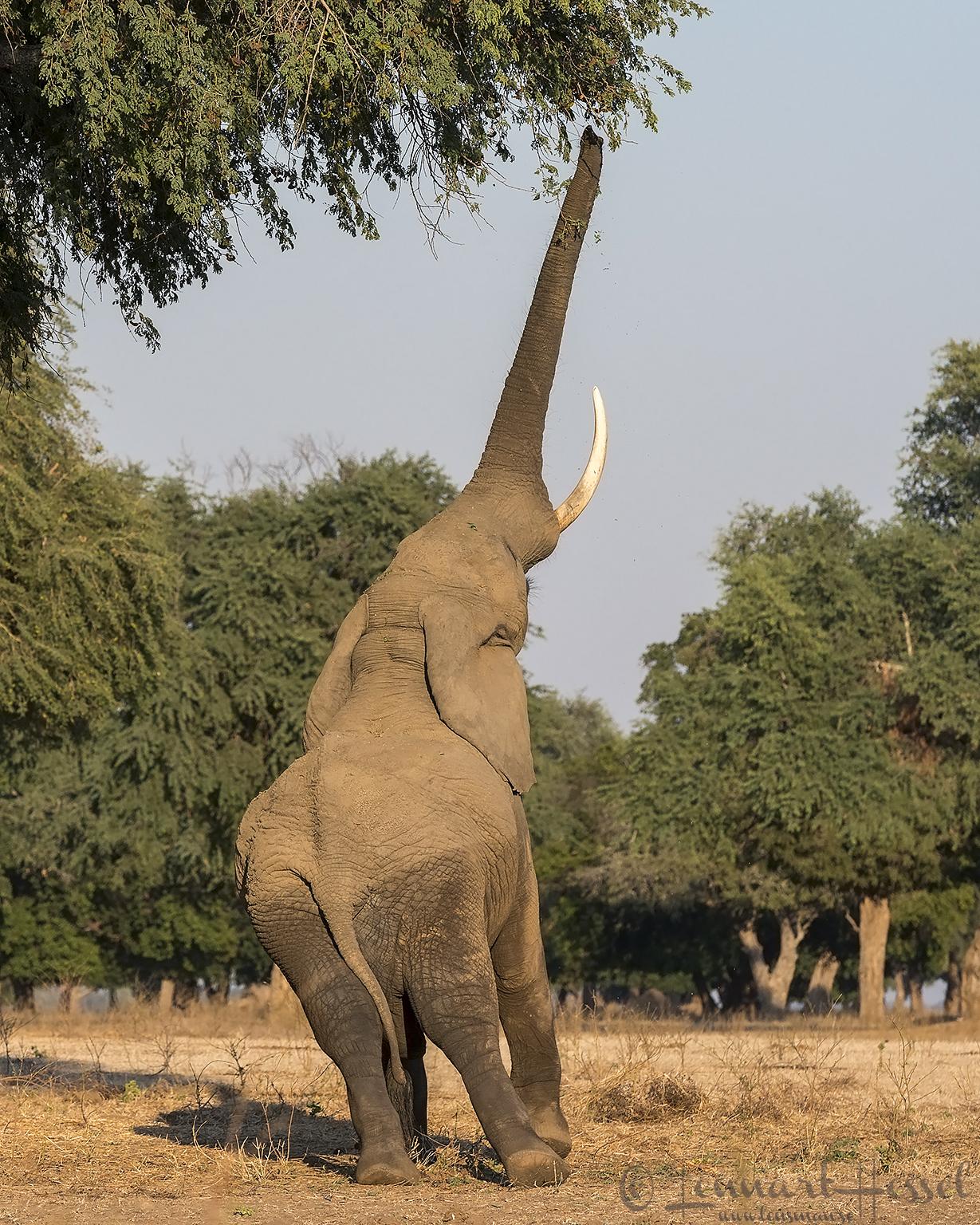 Elephant reaches giants Mana Pools National Park, Zimbabwe