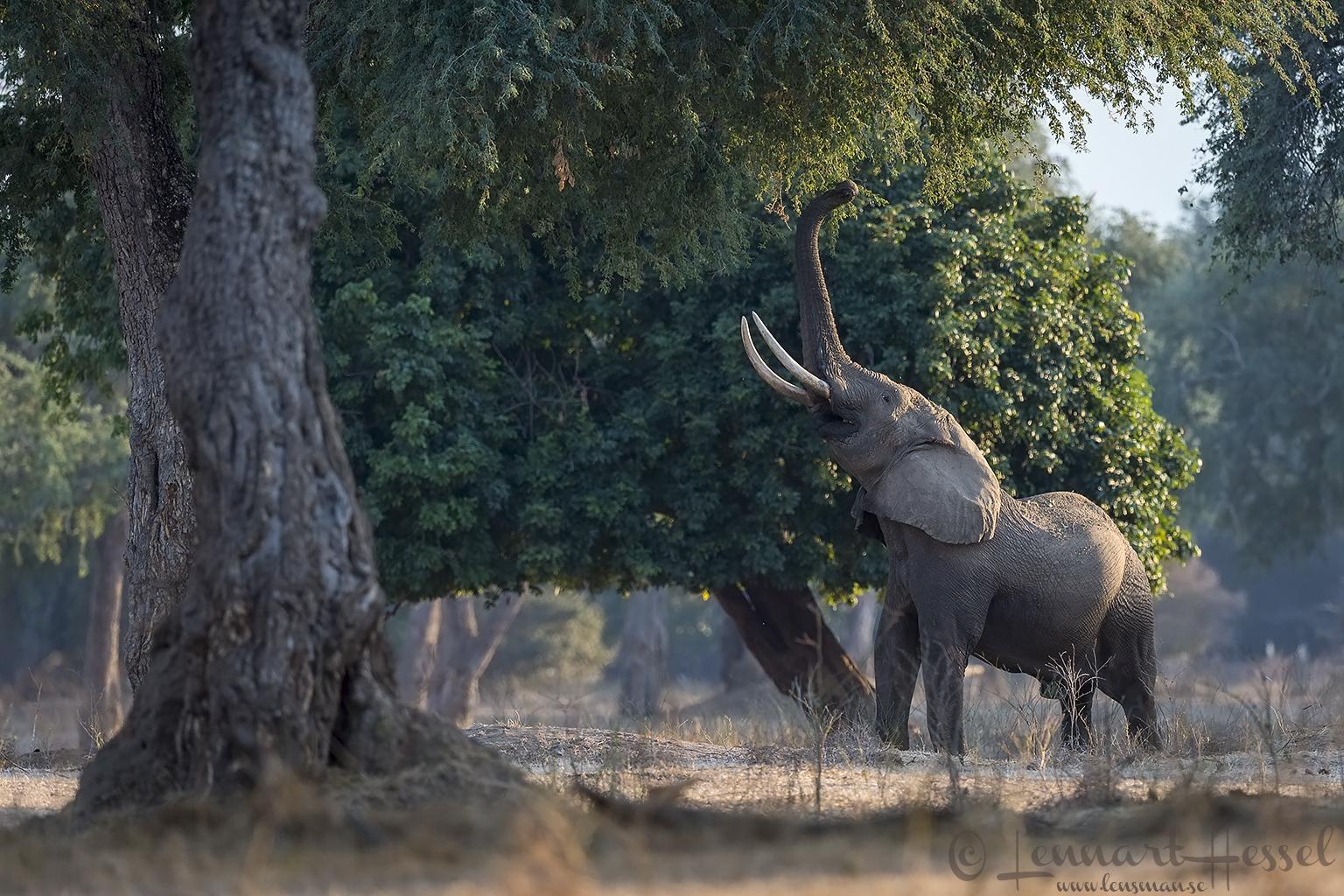 Elephant reaching giants Mana Pools National Park, Zimbabwe