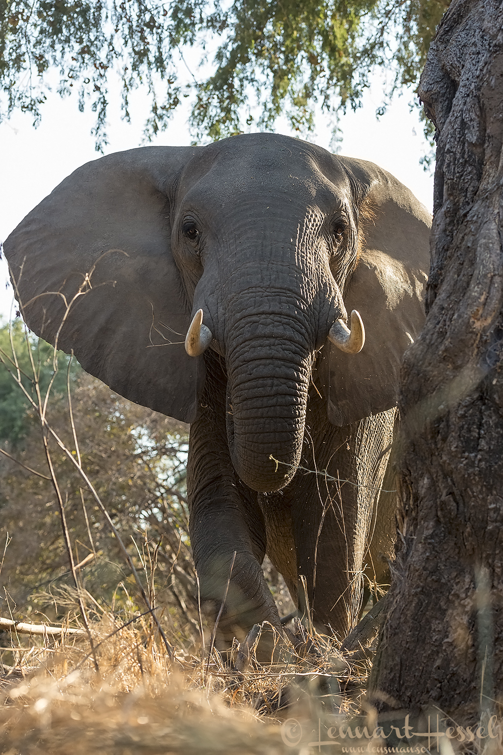 Elephant up close giants Mana Pools National Park, Zimbabwe