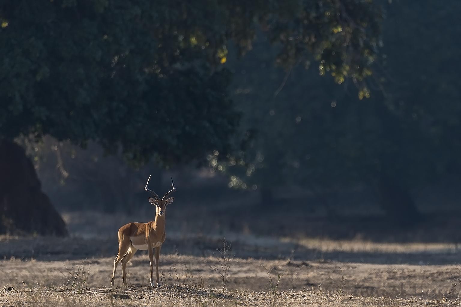 Impala giants Mana Pools National Park, Zimbabwe