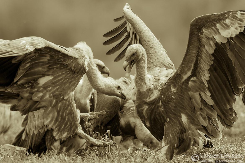 Griffon Vultures sepia Bulgaria