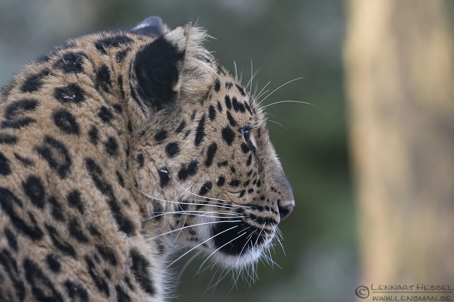 Amur leopard at Nordens Ark