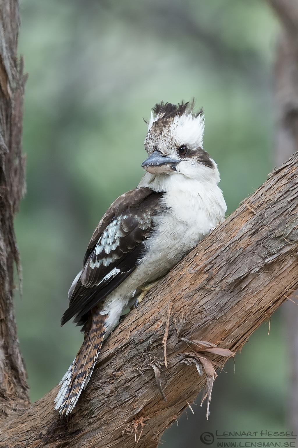 Laughing Kookaburra Hobart Waterworks Tasmania