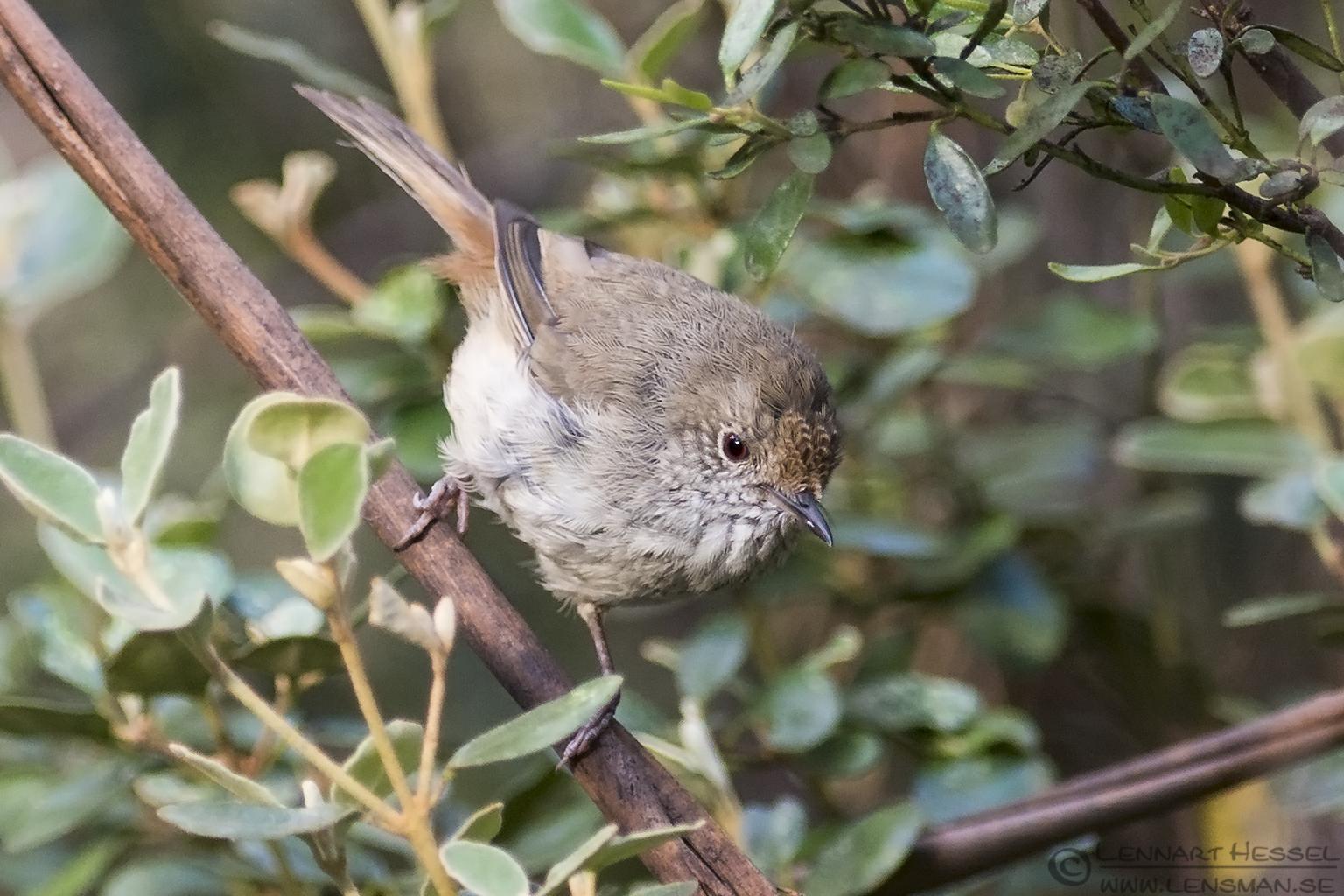 Tasmanian Thornbill Tasmania