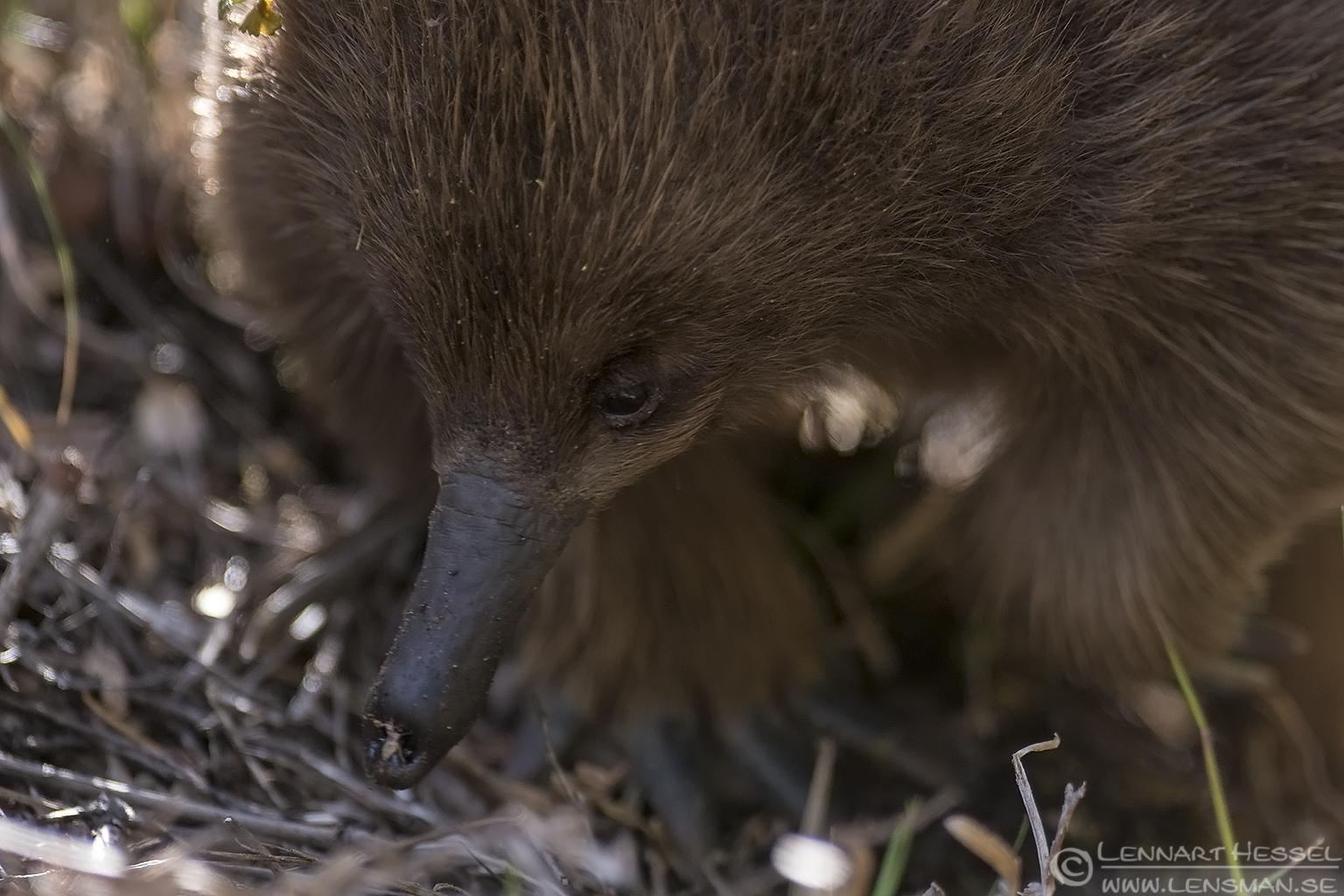 Echidna Tasmania