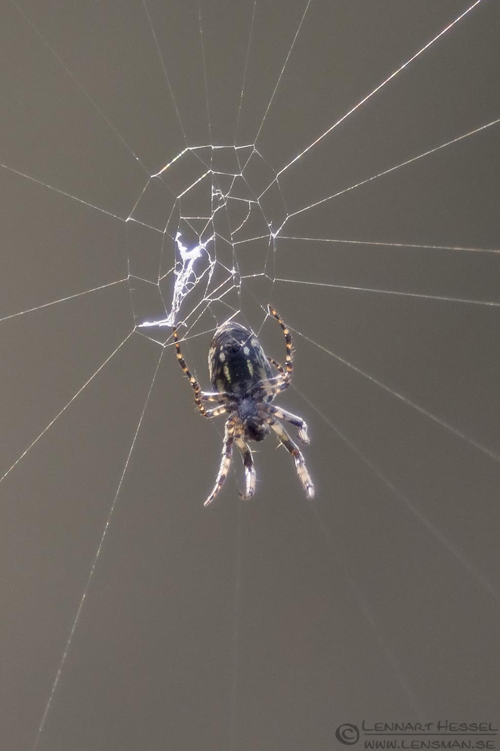 Spider Devils Gullet Tasmania