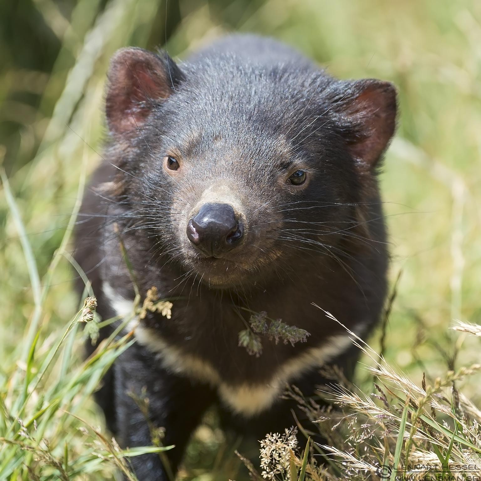 Tasmanian Devil Trowunna Tasmania