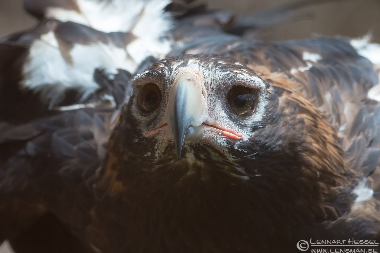 Wedge-tailed Eagle Trowunna Tasmania